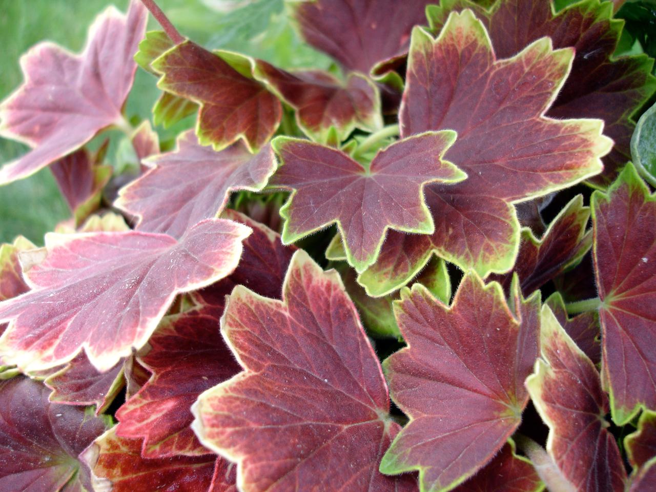 Pelargonium_Vancouver_Centennial.jpg