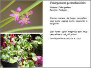 Pelargoniumgrossul.jpg