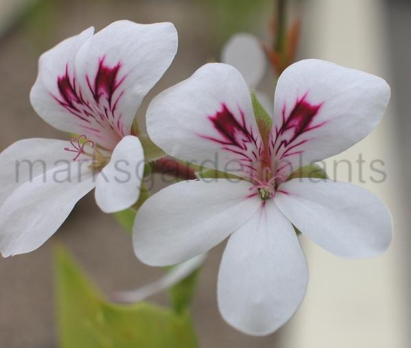 pelargoniumtricuspidatu.jpg