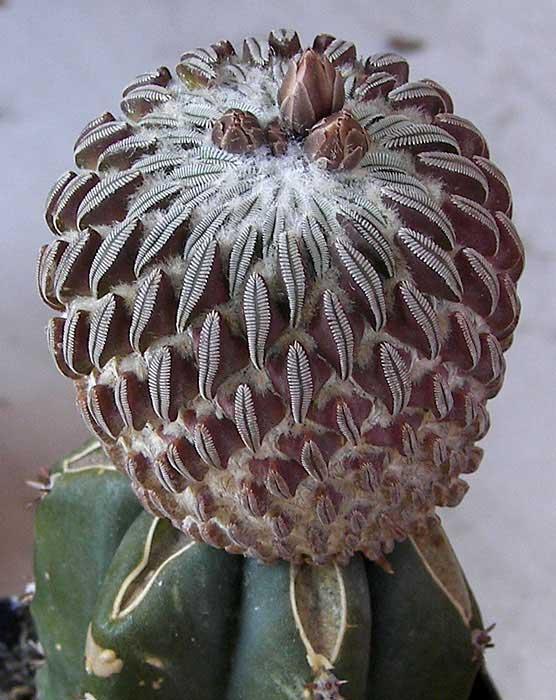 pelecyphoraaselliformis.jpg