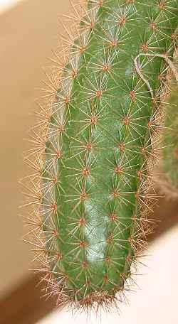 Peniocereus_oaxacensis.jpg
