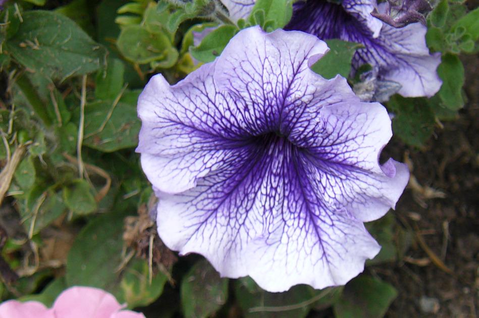 petunia-blanca-y-lila.jpg