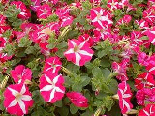 petunia-hybrida.jpg