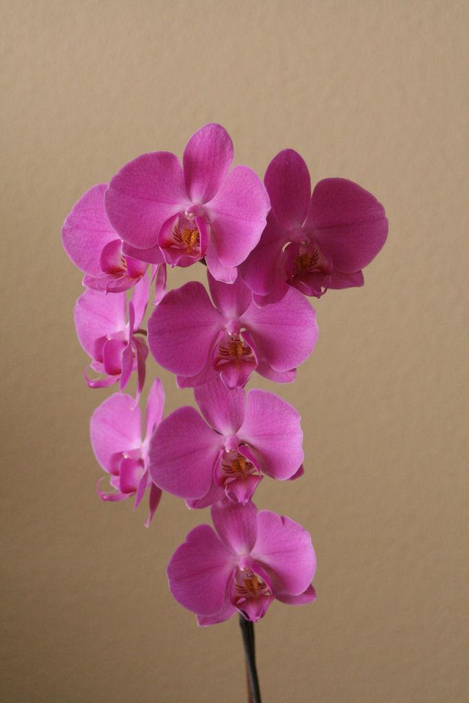 phalaenopsis_inflorescencia_red.JPG
