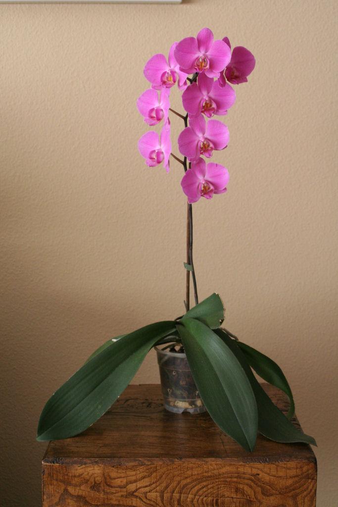 phalaenopsis_planta_red.JPG