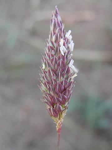 phalaris_caerulescens2.jpg