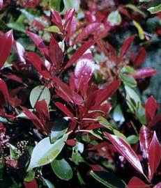 photinia-fraseri-red-rob.jpg