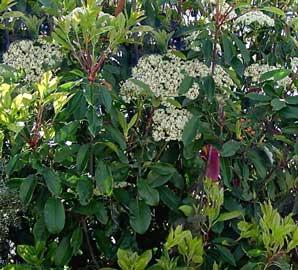 photinia-serrulata-hojas.jpg