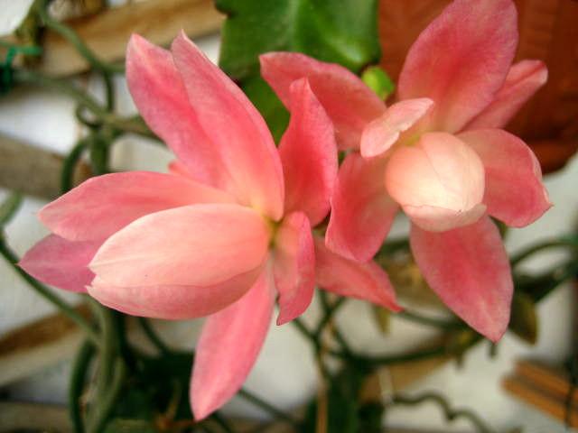 phyllantoides1.jpg