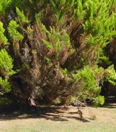 phytophtoraenthuyas.jpg