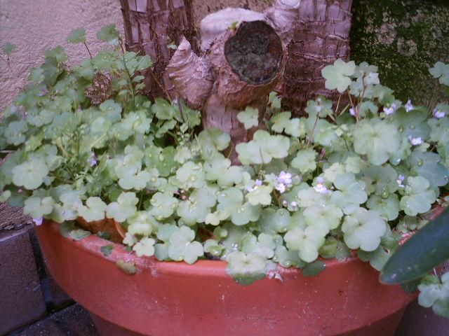 Cimbalaria linaria cymbalaria cultivo en maceta p gina 2 - Yuca infojardin ...