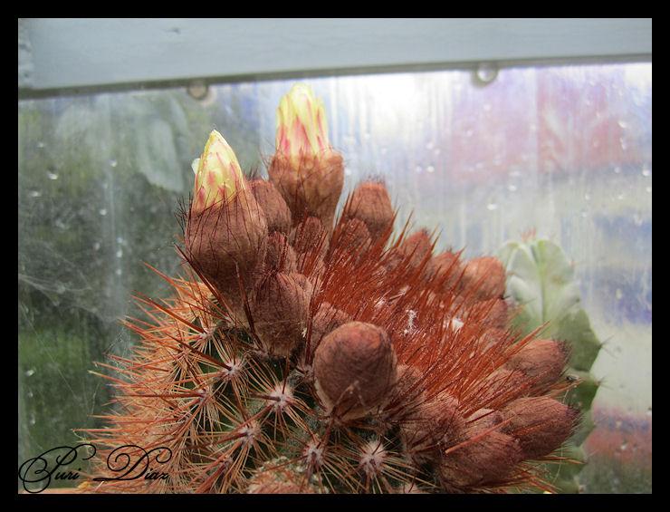 pimpollos+para+flores+17+abril+2012+canon+ixus+130.JPG