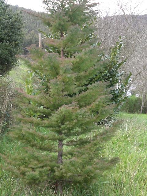 pinaleta1.jpg