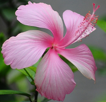 Pink_Hibiscus_Venkat.jpg