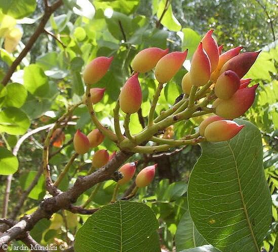 Pistachero qu tama o alcanza cultivo o cuidados del for Riego por goteo pistachos