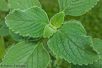 Plectranthus-barbatus-Boldo-8464.jpg