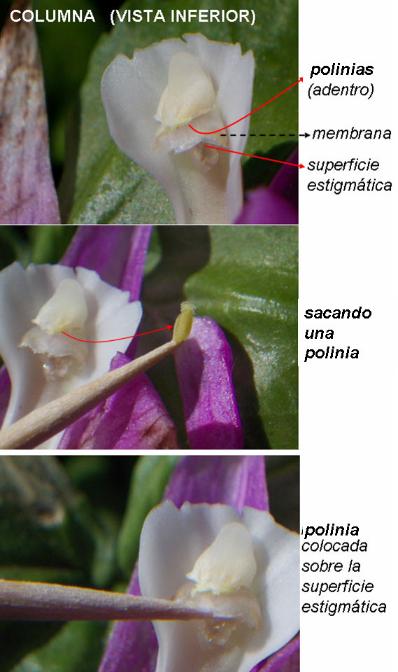 Pleiopoliniz4.jpg