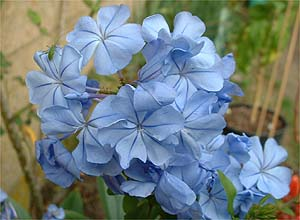 PLUMBAGO%20CAPENSIS%20OUTREMER.JPG