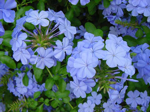 Plumbago-capensis_edit.jpg