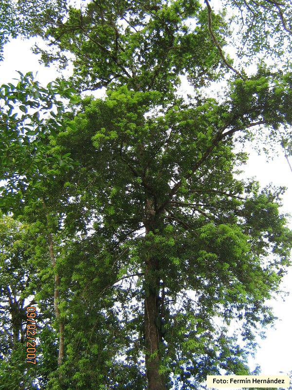 Podocarpus%20guatemalensis%20(3).jpg
