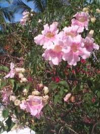 podranea-ricasoliana-flores.jpg
