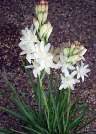 polianthes-tuberosa.jpg