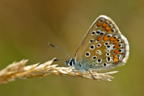 Polyommatus_icarus.jpg