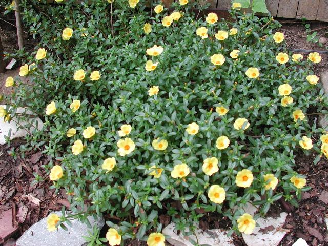 Sedum sieboldii portulaca oleracea portulaca grandiflora for Hearty ornamental grasses