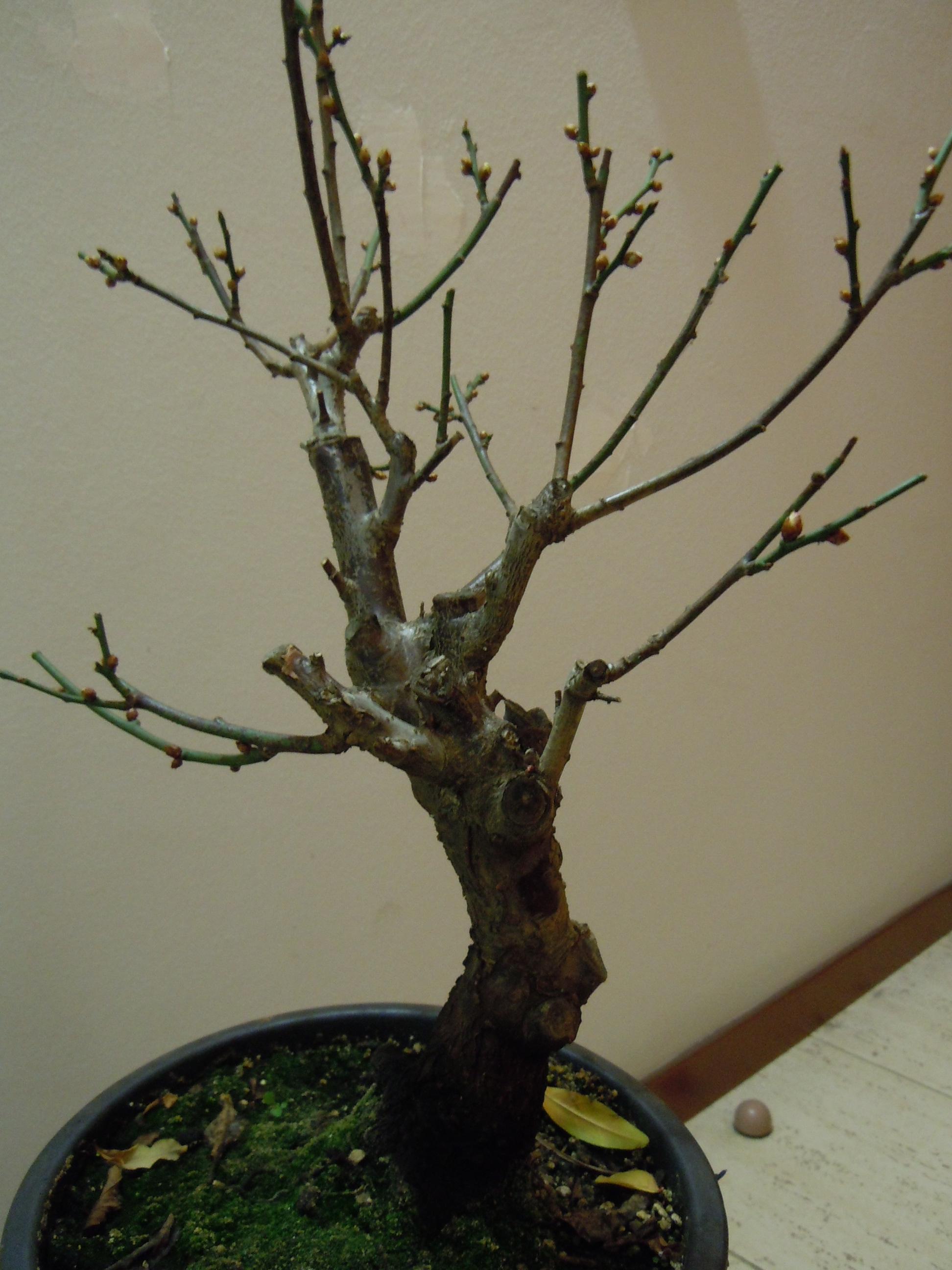 Prunus%20Mume1%202013%20(1).JPG