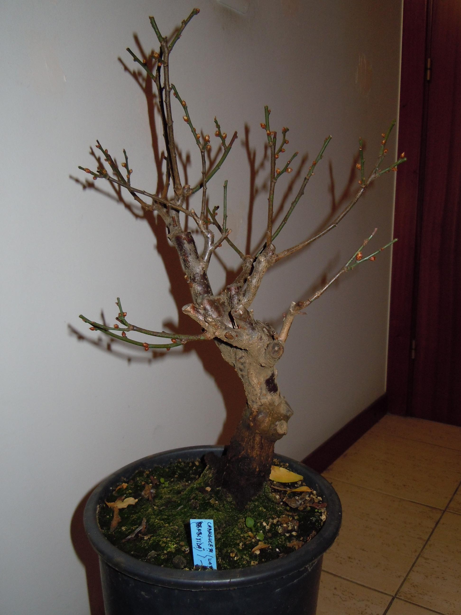 Prunus%20Mume1%202013%20(2).JPG