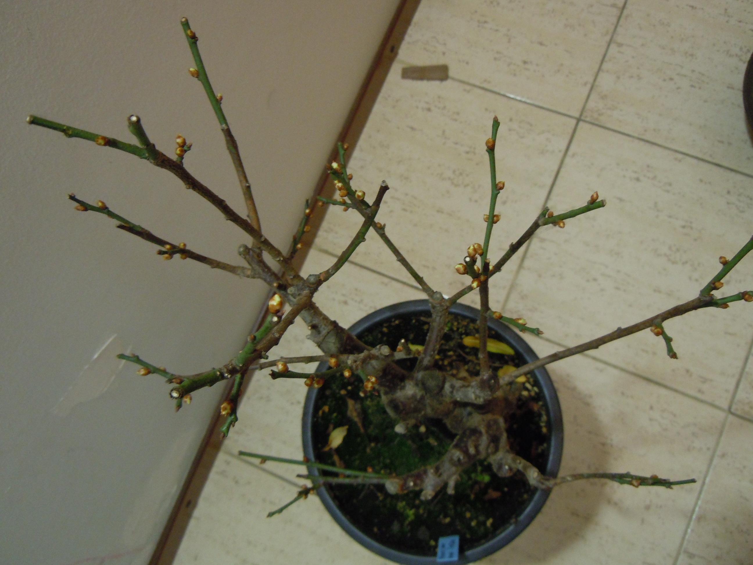 Prunus%20Mume1%202013%20(6).JPG