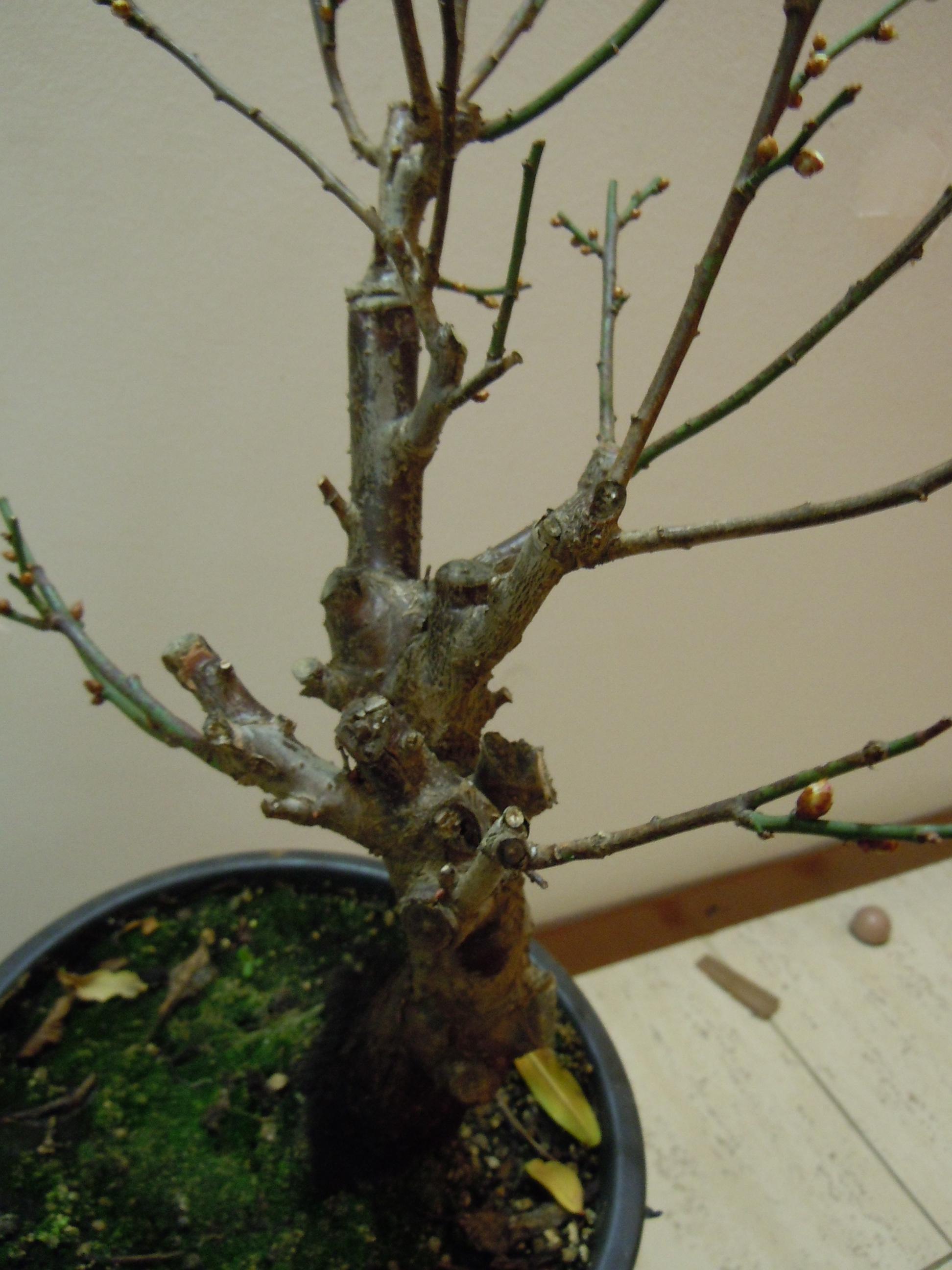 Prunus%20Mume1%202013%20(7).JPG