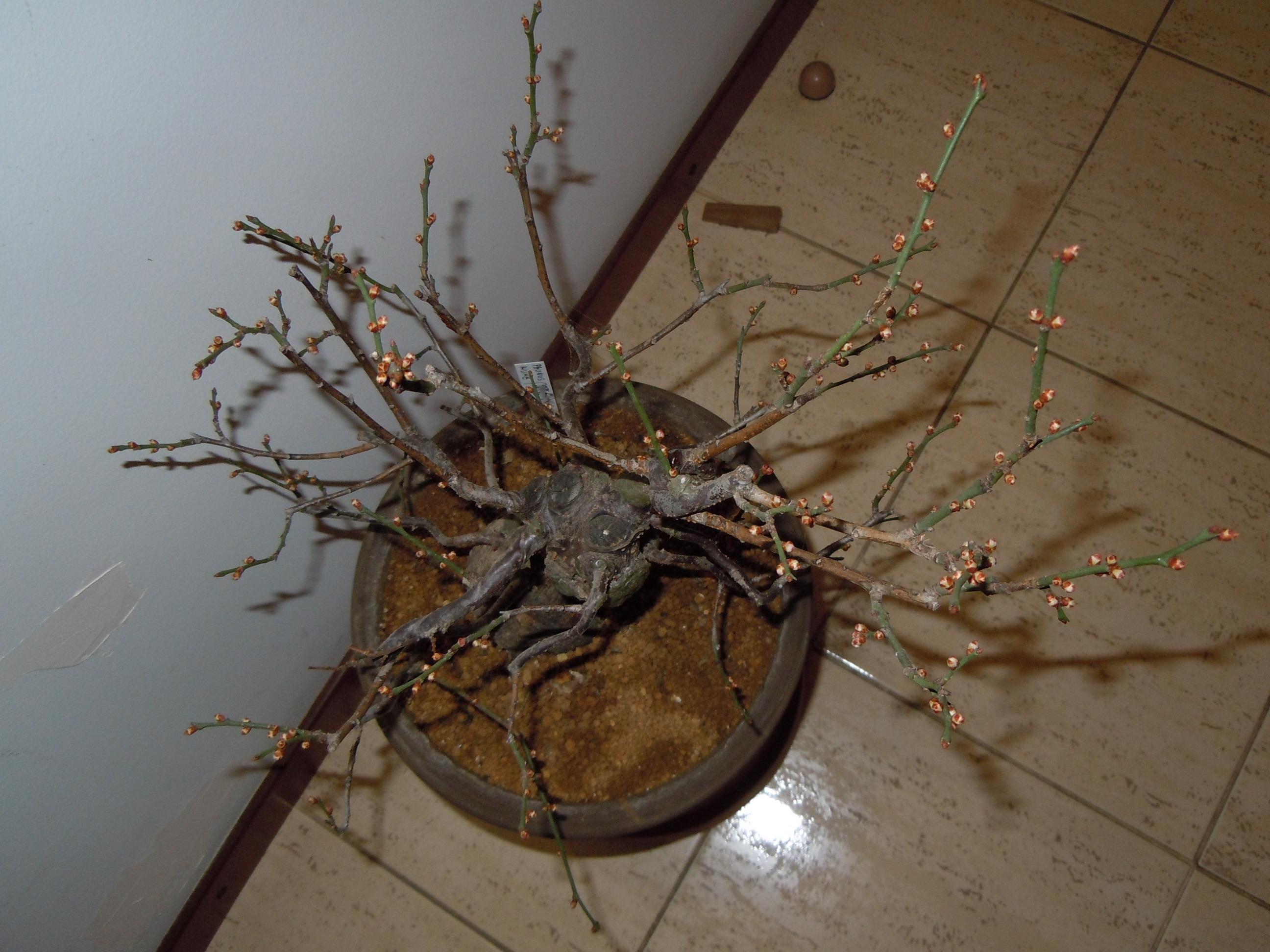 Prunus%20Mume2%202013%20(11).JPG