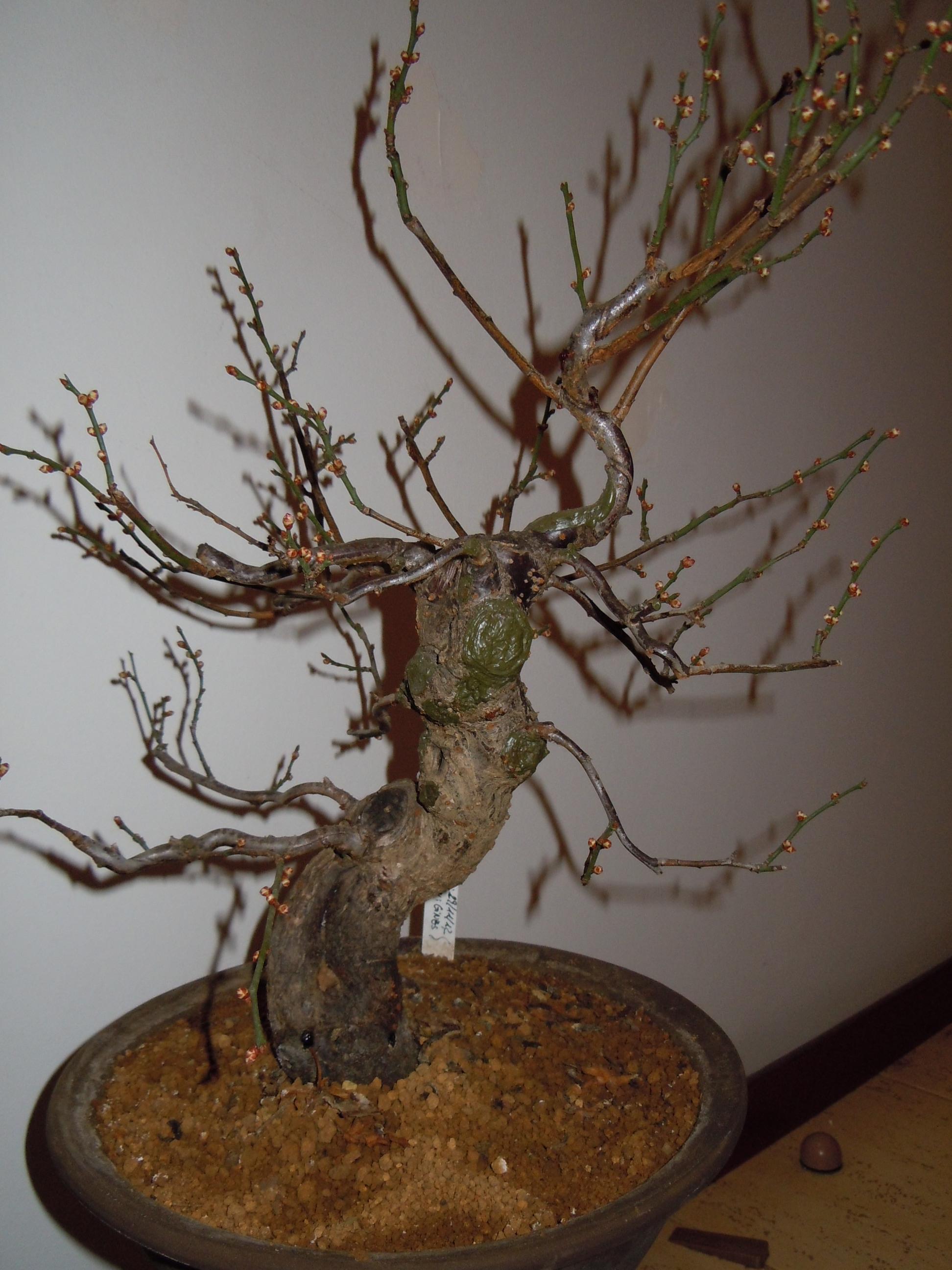 Prunus%20Mume2%202013%20(3).JPG