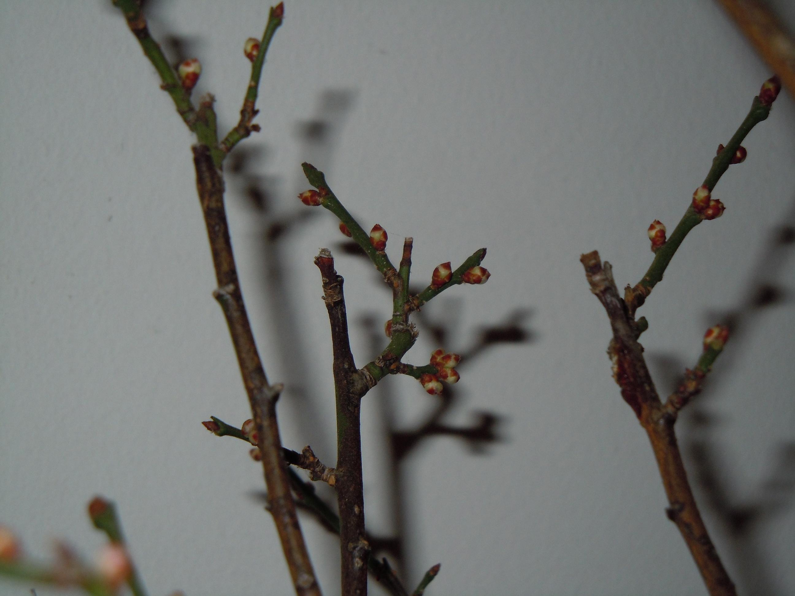 Prunus%20Mume2%202013%20(7).JPG