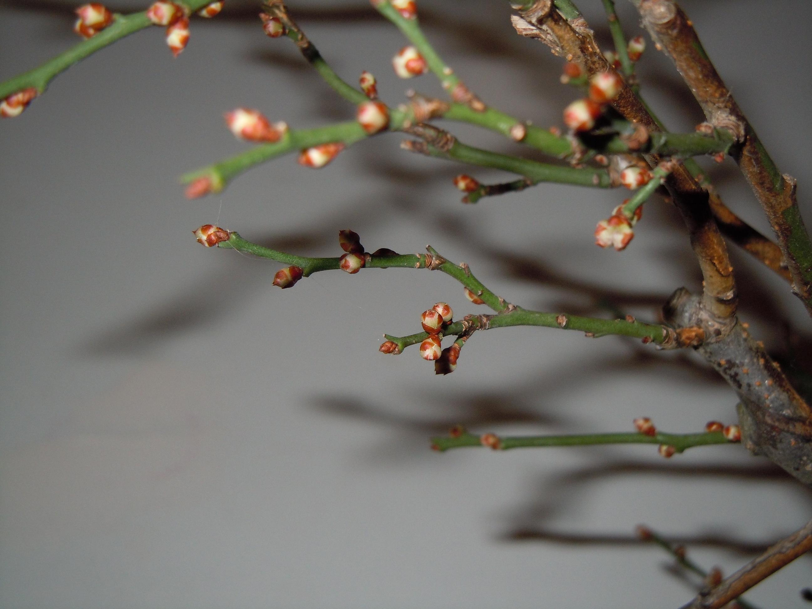Prunus%20Mume2%202013%20(8).JPG