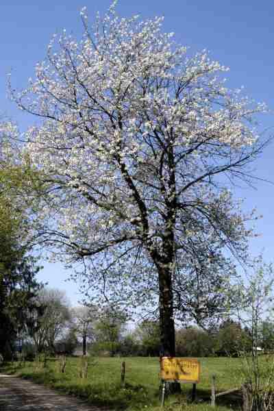 Prunus.avium2.jpg