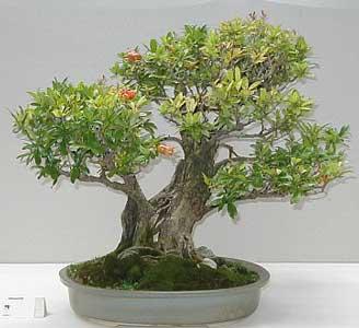 punica-granatum-bonsai-2.jpg