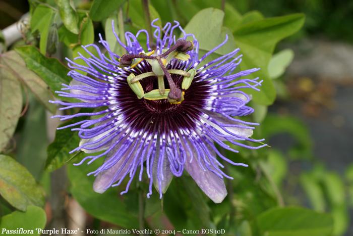 purplehaze_G.jpg