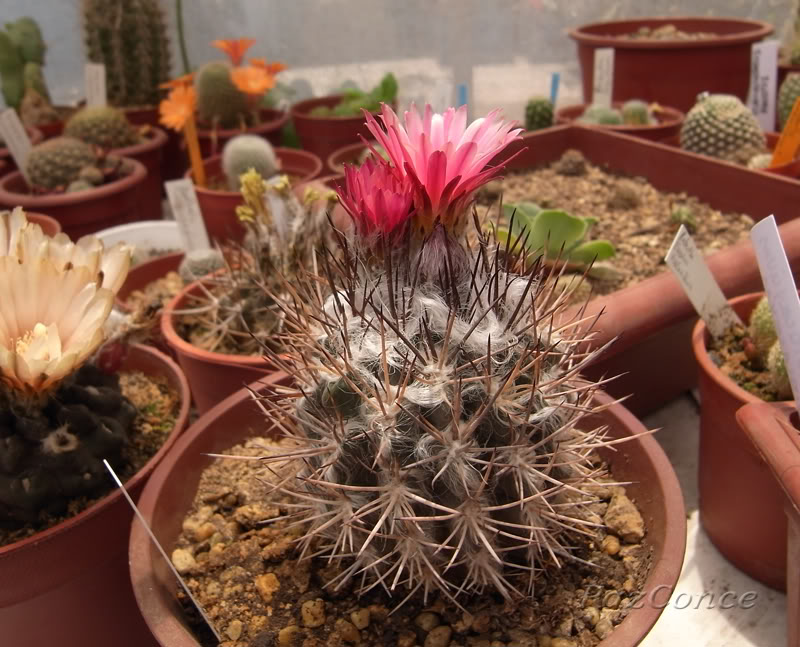 pyrrhocactus.jpg