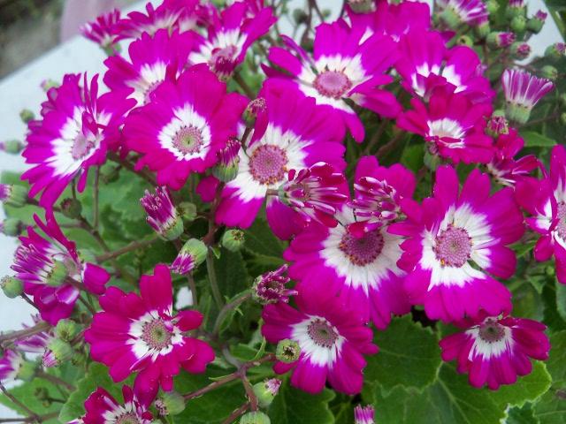 Fotos de nuestras flores colores que cautivan p gina 130 for Plantas de balcon para todo el ano