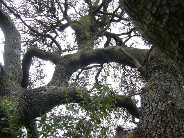 Quercus%20ilex%20ballota%20%288%29%20%28Small%29.JPG