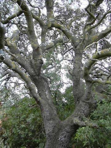 Quercus%20ilex%20ballota%20%289%29%20%28Small%29.JPG