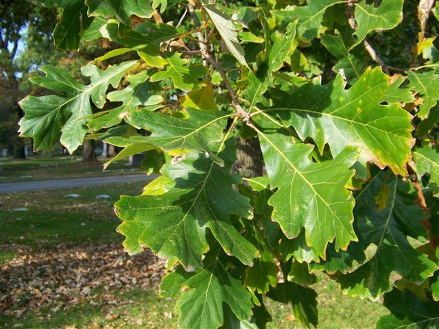 Quercus.macrocarpa.SG%283%29%28Small%29.JPG