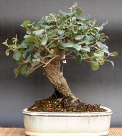 quercus_suber_alcornoque_bonsai_3.jpg