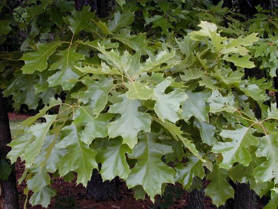 Quercus_velutina_foliage.jpg