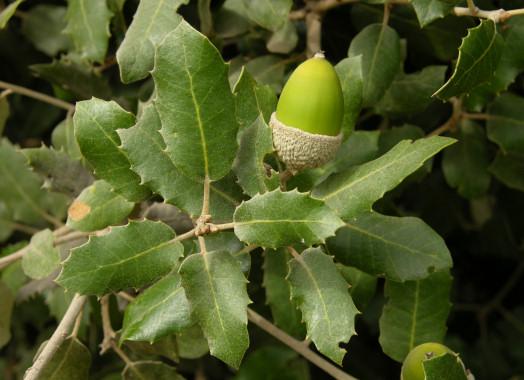 Quercusilex1.jpg