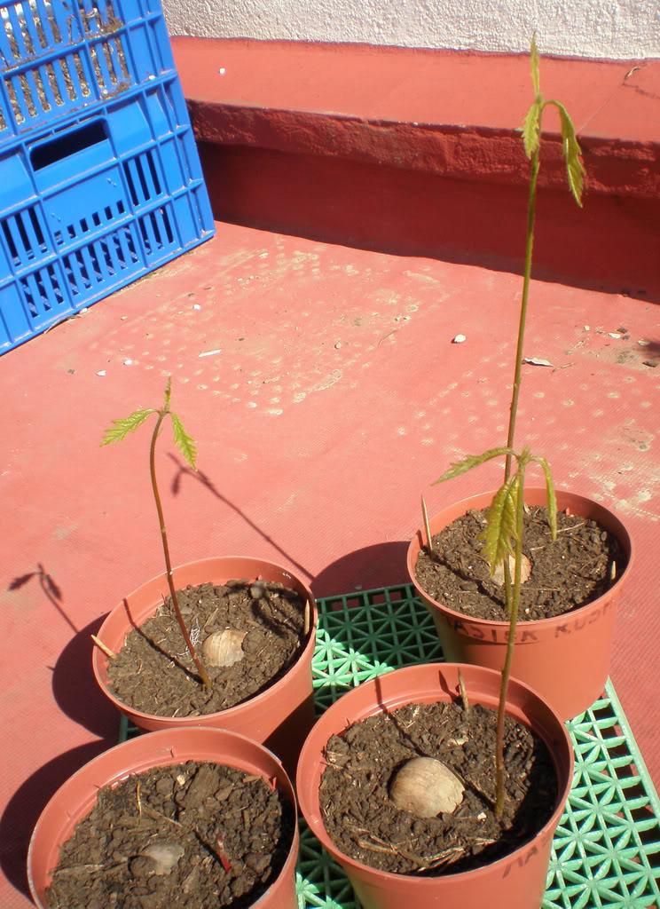 Quercusmacrocarpa14.jpg