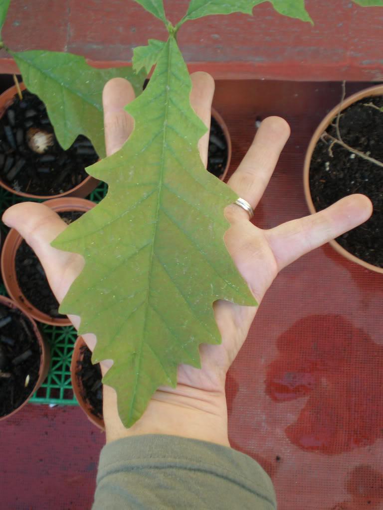 Quercusmacrocarpa17-25032009-.jpg