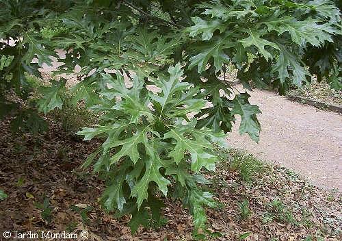 quercuspalustris.jpg